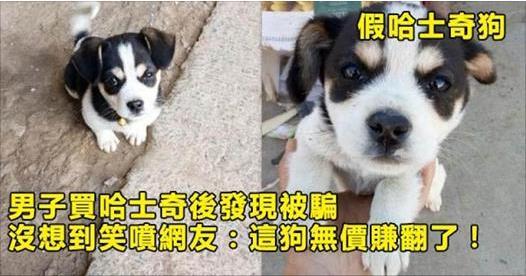 男子買哈士奇後發現被騙,沒想到笑噴一群網友:這狗無價賺翻了!