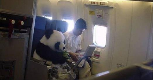 「熊貓」也能搭飛機!?10張「一看不要緊,再看笑死你」的動物照片,不要跟我說你笑不出來!