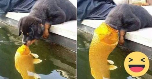 這張「狗狗跟錦鯉親親」的照片本來很溫馨,但在網友瘋狂惡搞後…我已經沒辦法直視原圖了!