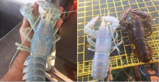 漁夫補到極稀有「透明龍蝦」震驚全球!但仔細一看「龍蝦肚子裡有...」欸這隻不能抓啊!