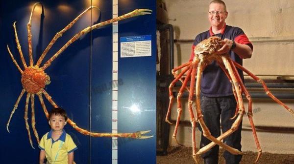 約4米長殺人蟹,在日本沿海殺害約20人,或遭到變異