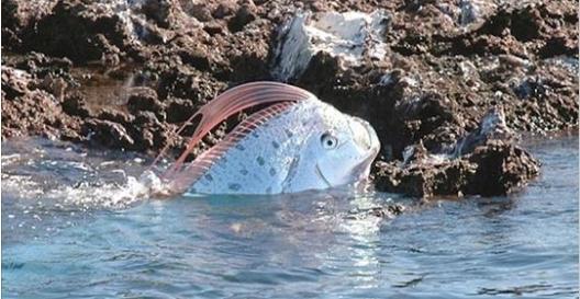 台灣沙灘出現超罕見海龍王「地震魚」活體!沒想到牠的「廬山真面目」竟然是這樣…太讓人吃驚了!